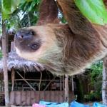 Sloth at Al Natural Resort