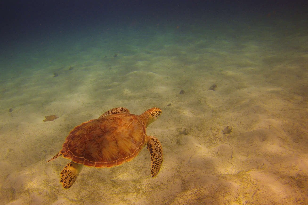 Off the western beach at Baradal island is a small turtle sanctuary which allows you to swim with mainly green sea turtles