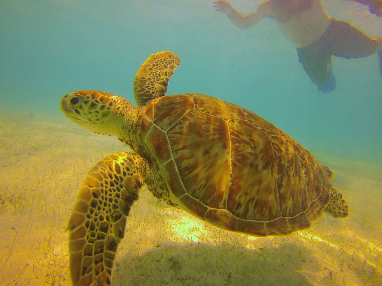 The Tobago Cays marine park is one of the best places worldwide to get up close to green turtles