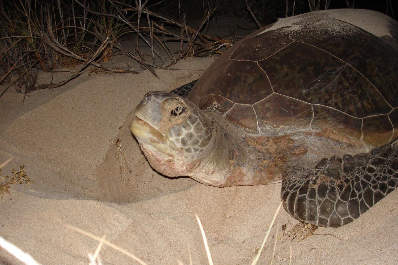 loggerhead turtle nesting2