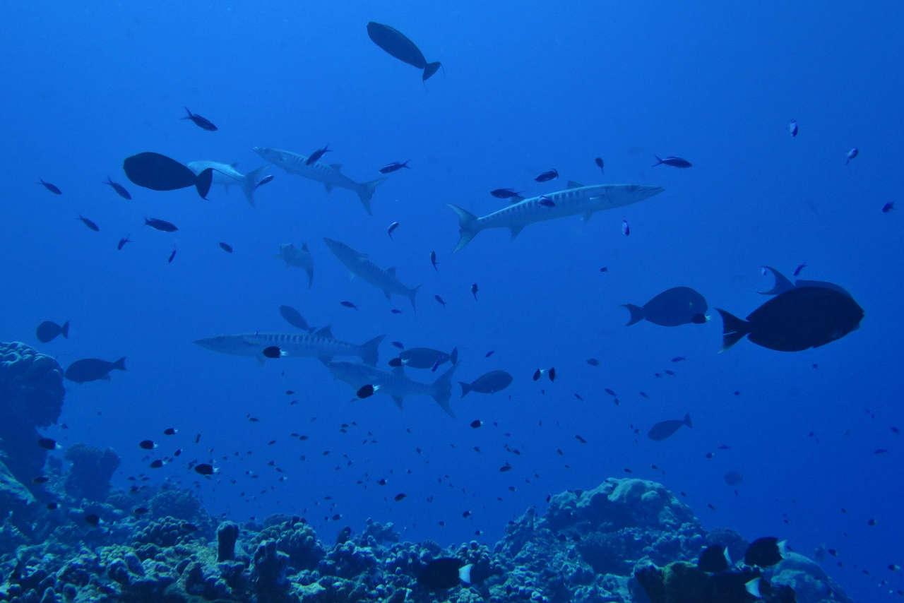 Different varieties of sharks, dolphins, napolean wrasses, manta rays and barracudas frequent the dive sites of Rangiroa