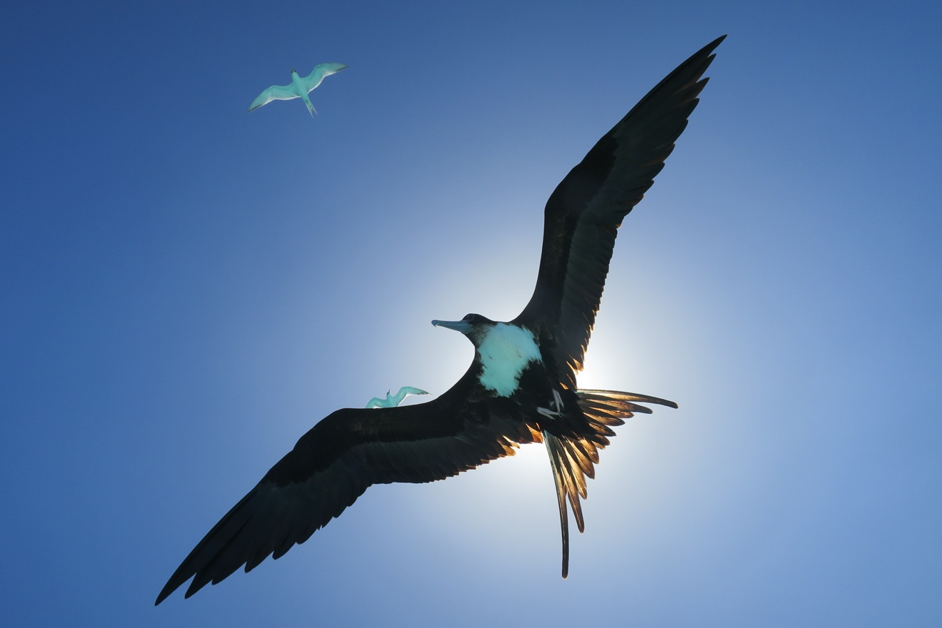 Thanks to the little development on the Tetiaroa, birds like this Frigate bird love the atoll