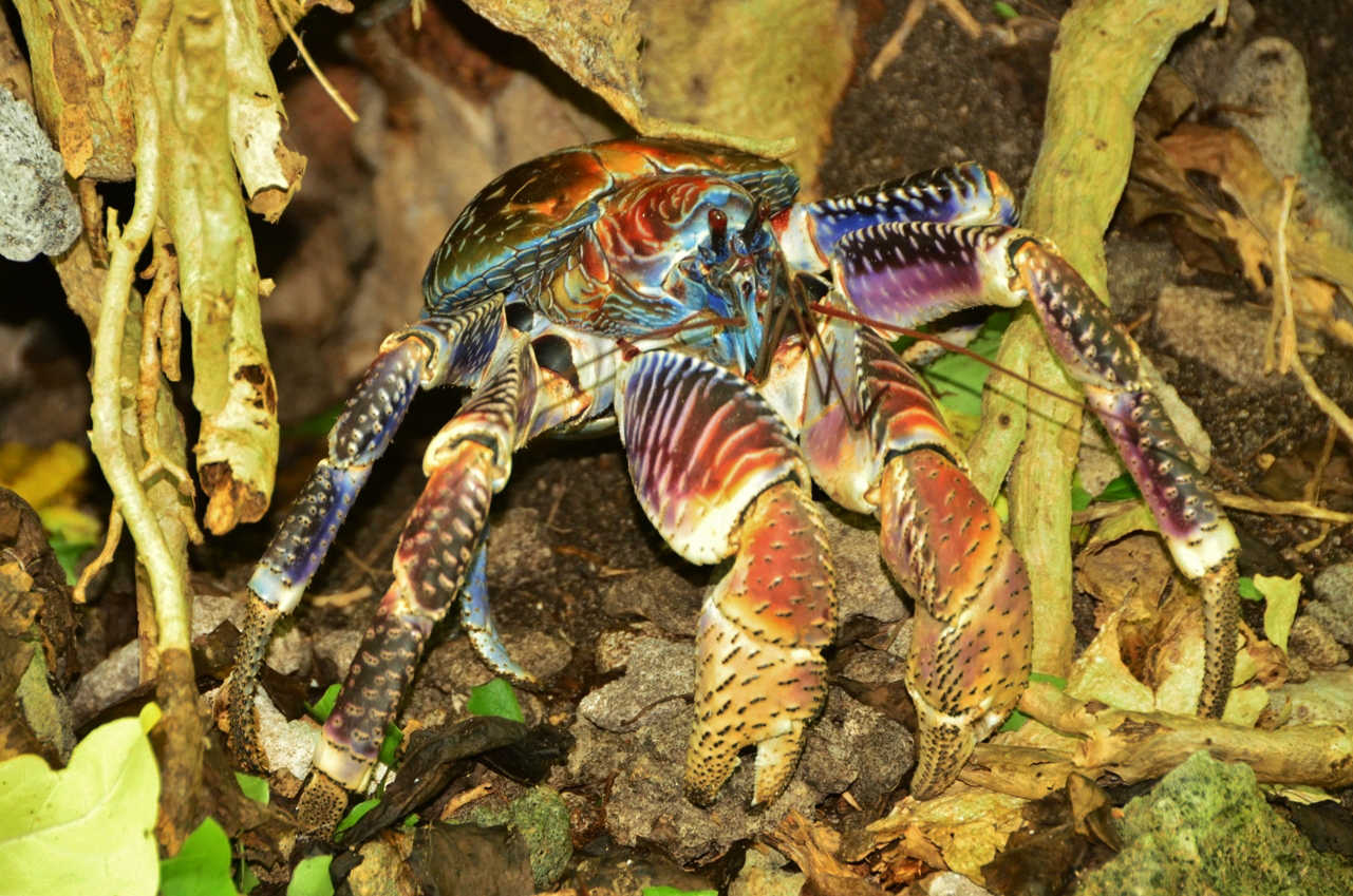 The elusive and super strong coconut crab can be found on Motu Reiono of Tetiaroa