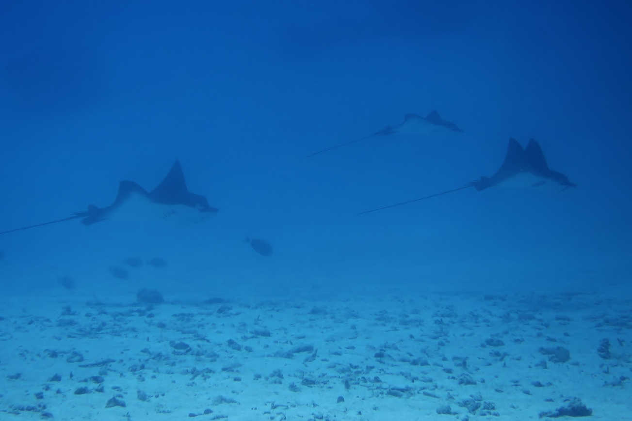 Toopua dive site in the lagoon offers spectactular encounters with eagle rays that dance in the current