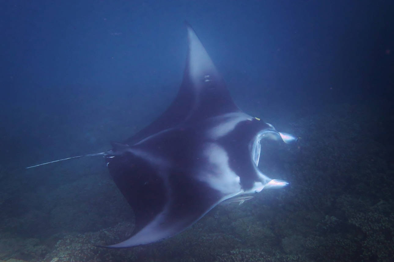 diving in French Polynesia: manta ray in Bora Bora