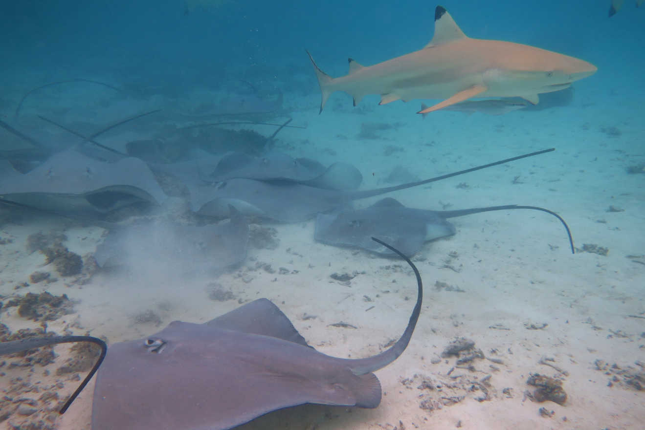 Inside the lagoon of Bora Bora snorkelers can swim with stingrays and black-tip reef sharks