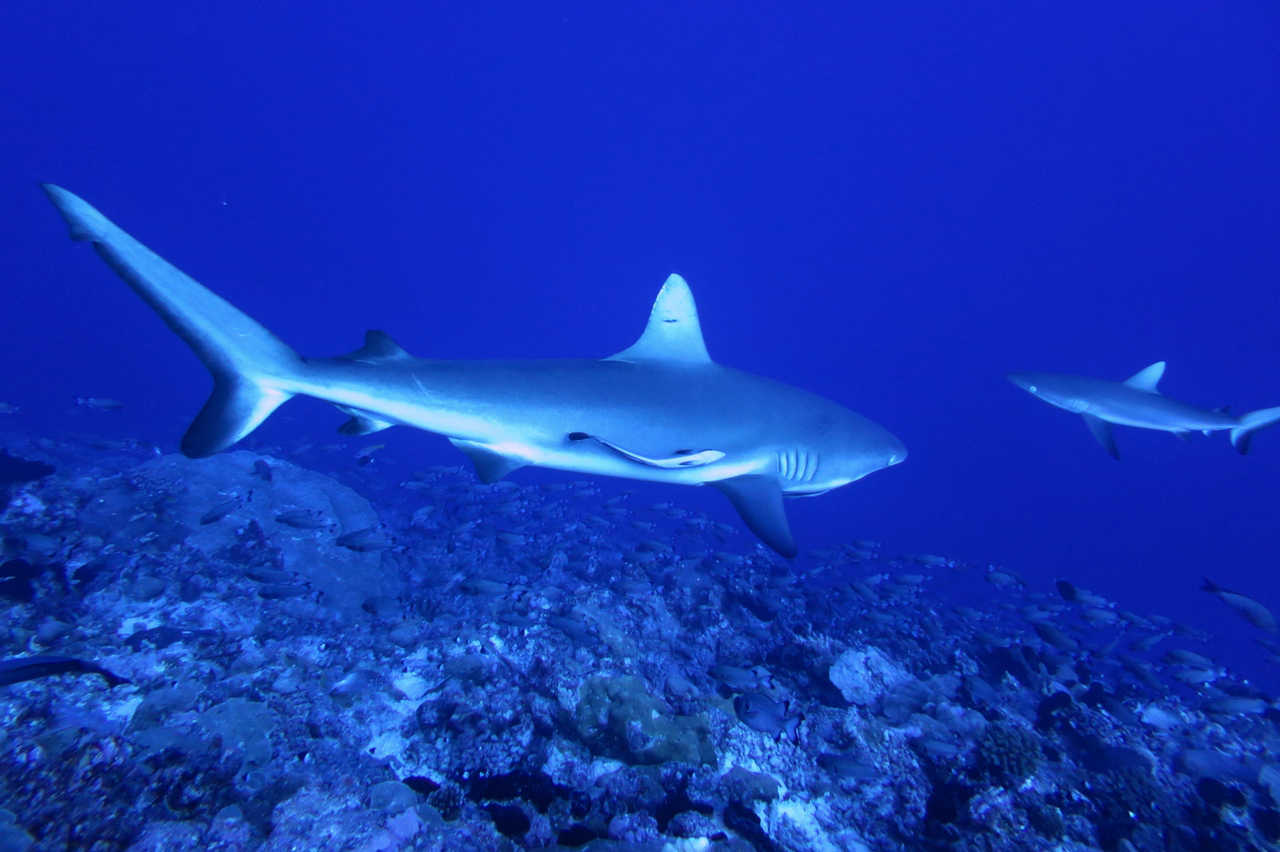 Tikehau offers world class diving which includes regular shark encounters