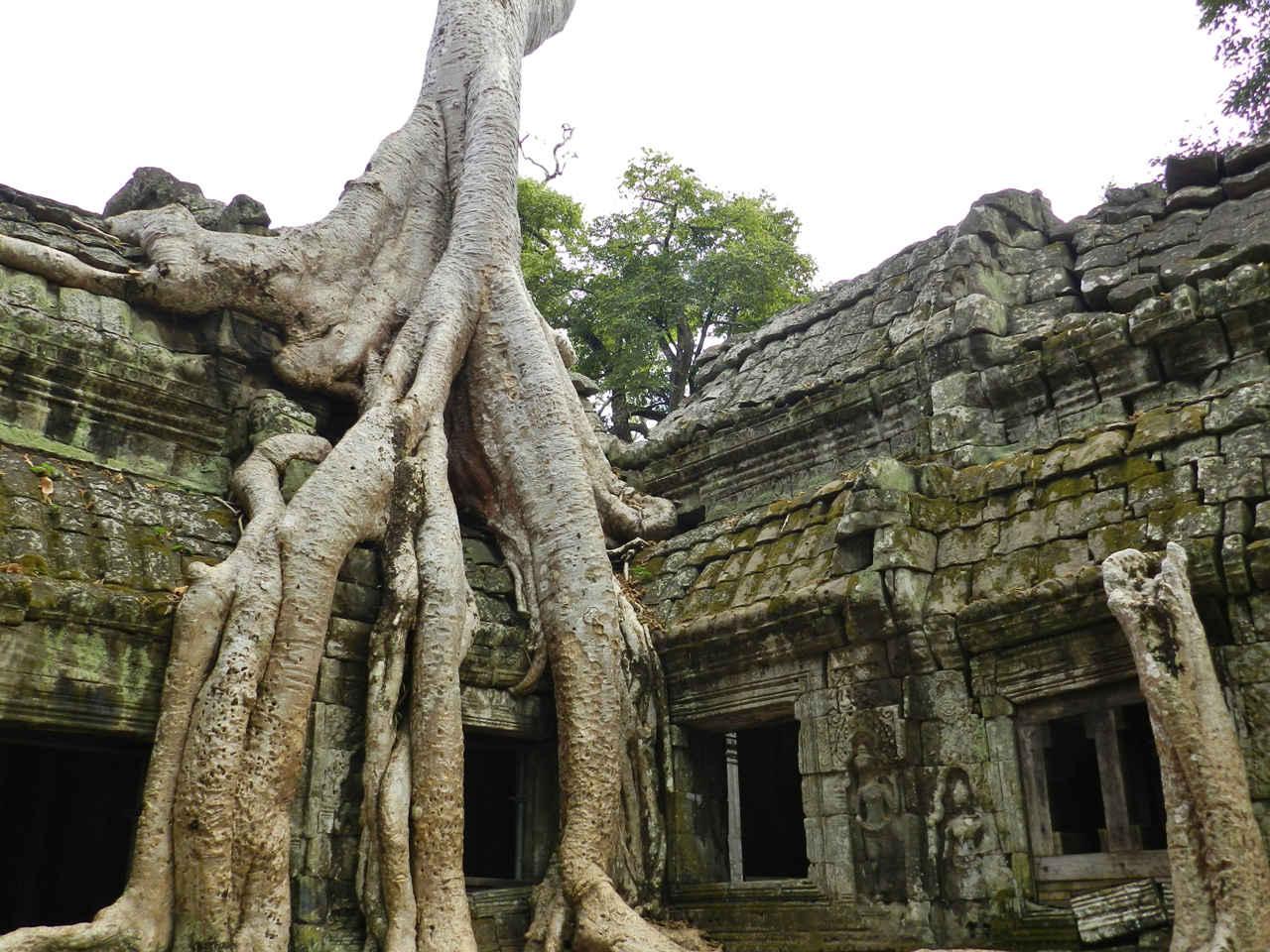 Strangler fig tree in action at Prasat Ta Phrom