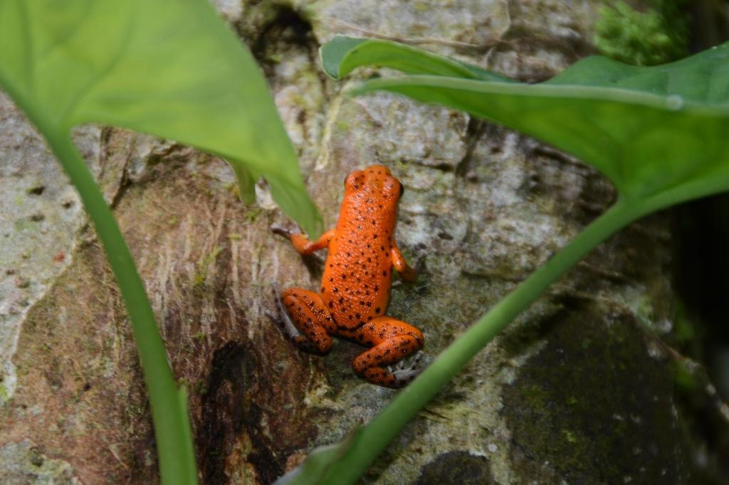 Strawberry poisson dart frog - this tiny critter is abundant on Isla Bastimentos
