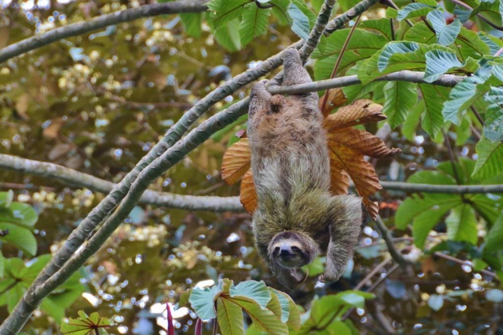 Sloths can be found hanging in trees all over Bocs del Toro