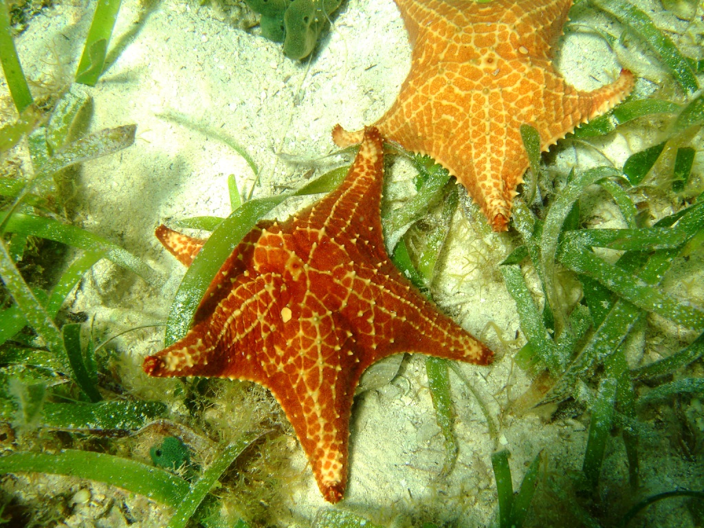 Colorful starfish are just some of the gems that await you underwater in between and close to the mangrove roots