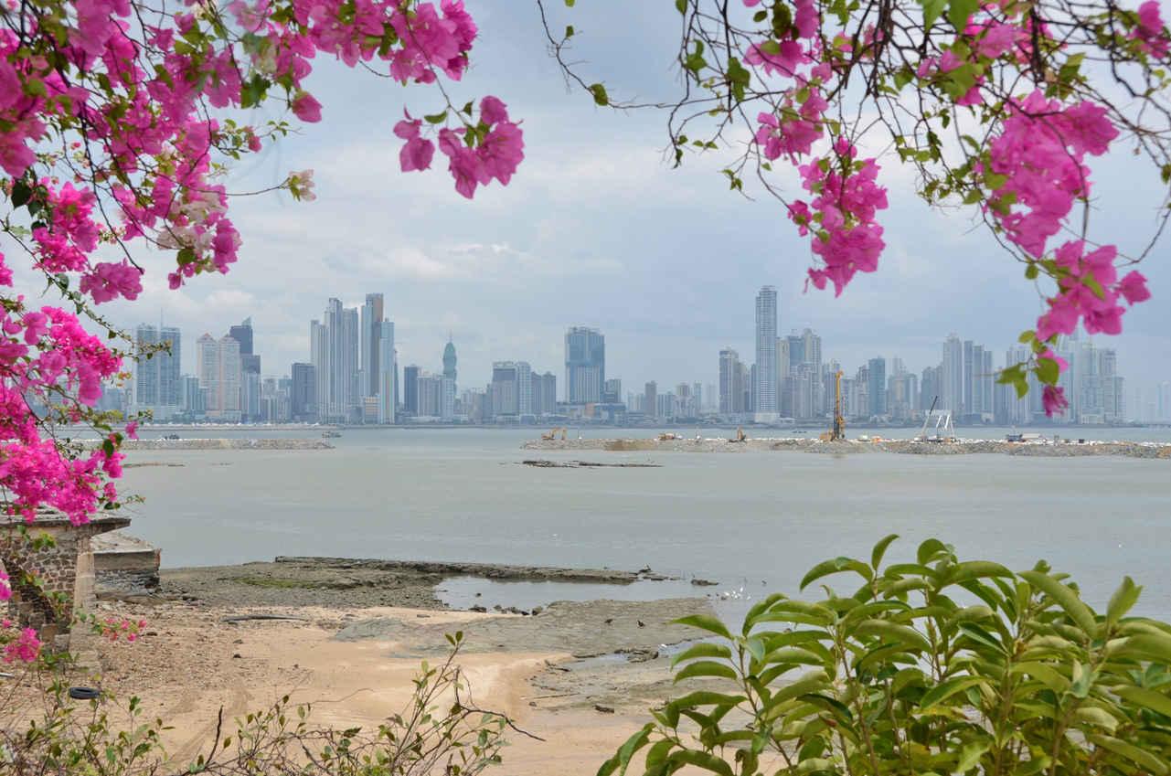 Panama's downtown skyline framed in Paseo Esteban Huertas's pink Bougainvillea flowers