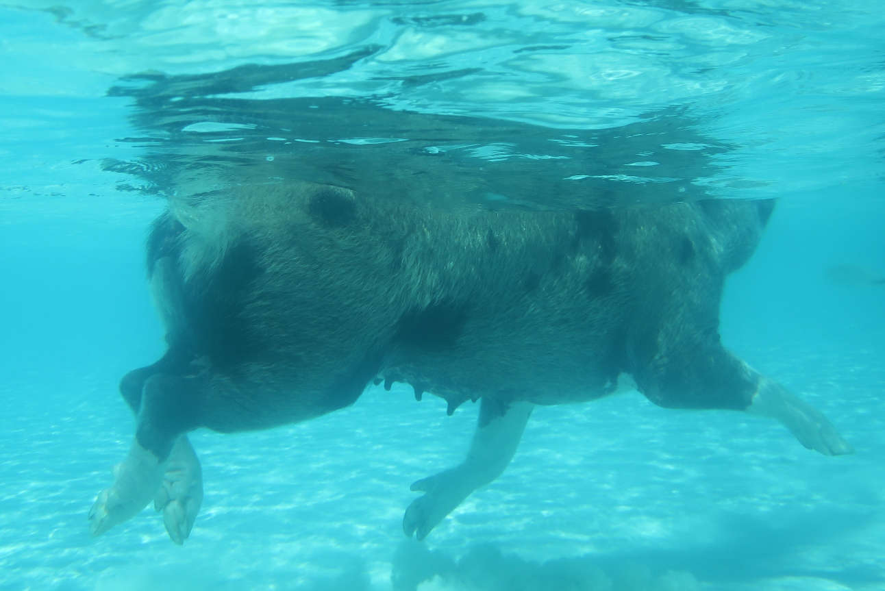 Regular swims in the cerulean waters keep the pigs of Big Major Cay healthy and fit