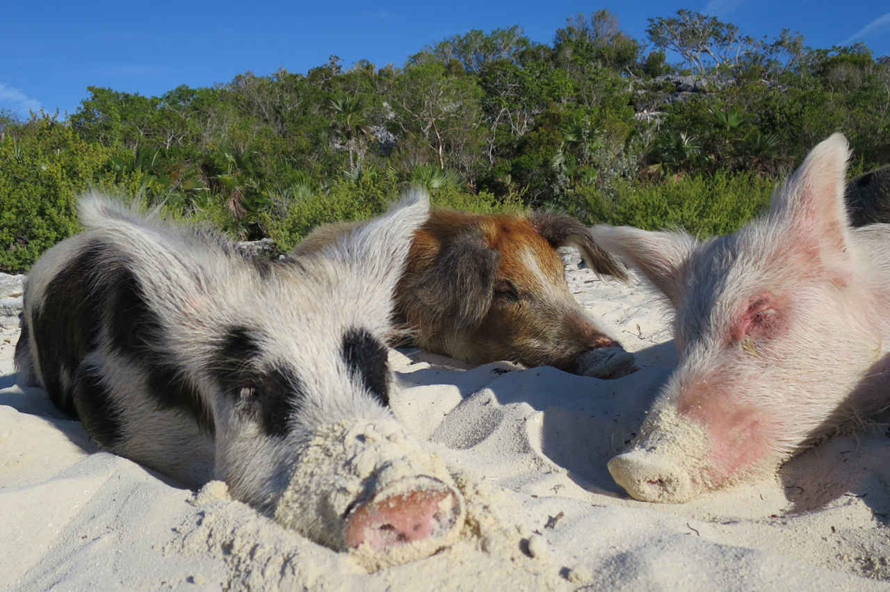 When not greeting visitors, the swimming pigs of Big Major Cay like to sleep on the beach