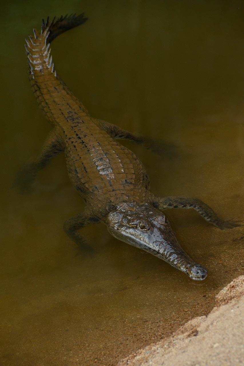 One of the freshwater crocodiles at Windjana Gorge