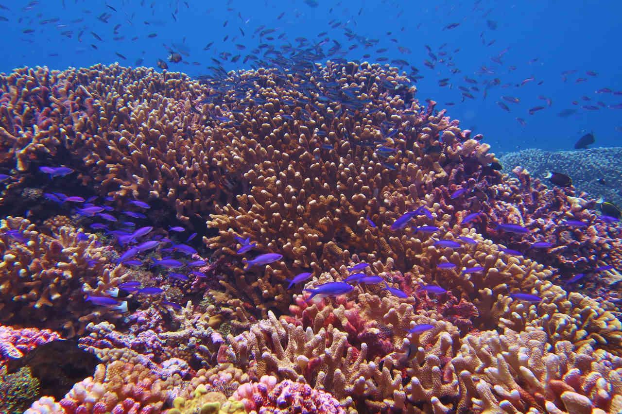 Fakarava hard coral