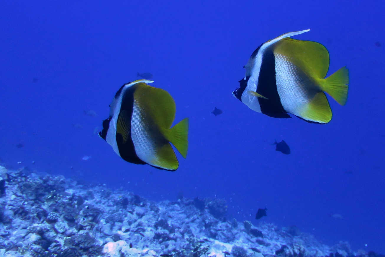 Longfin bannerfish are just one of the huge variety of species one can find in the waters of Fakarava