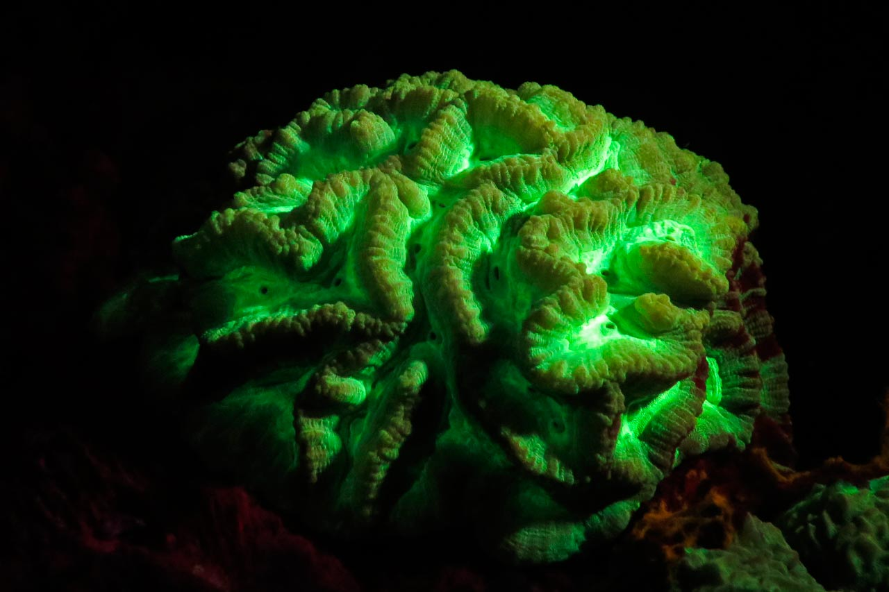 A brain coral coming alive while fluo diving at Wakatobi Marine Park at night