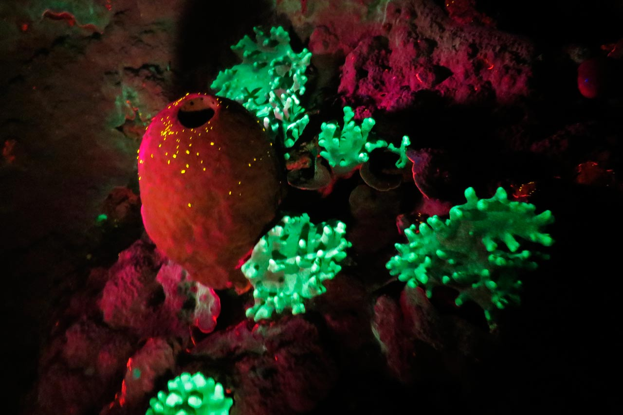 Fluo diving: sea lice on a sponge at Wakatobi Dive Resort