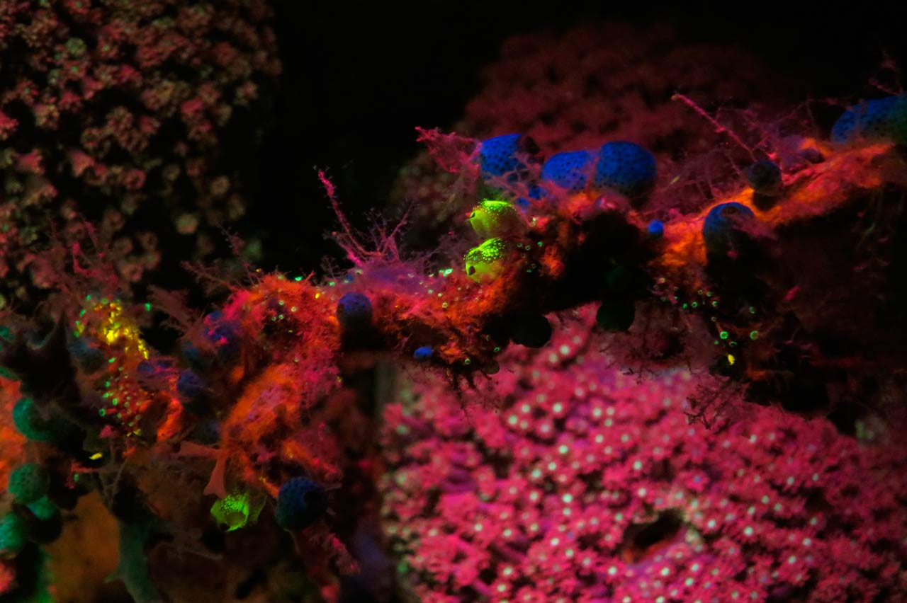 Fluo diving: whip coral at Wakatobi Dive Resort