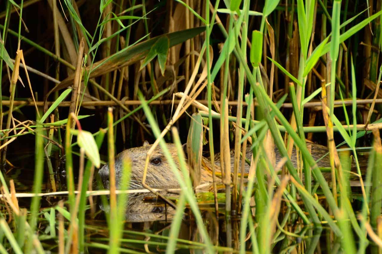 kayaking in the spreewald beaver