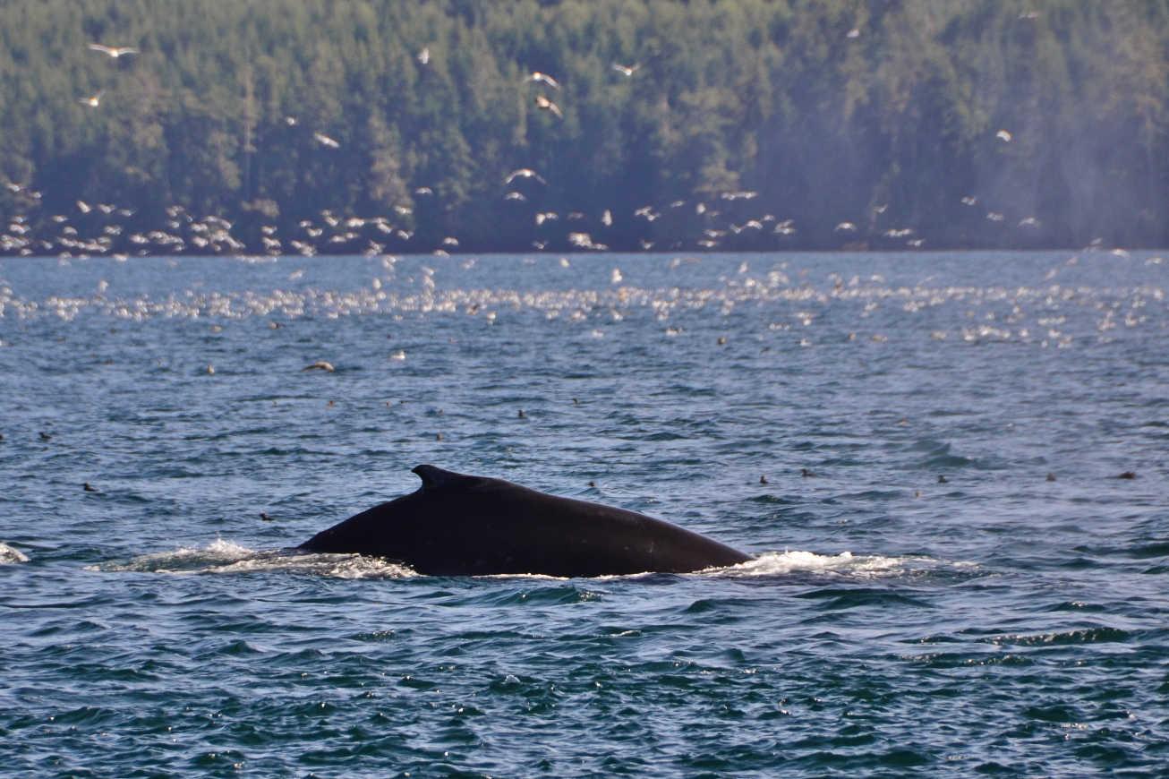 Kayaking Johnstone Strait humpback whale