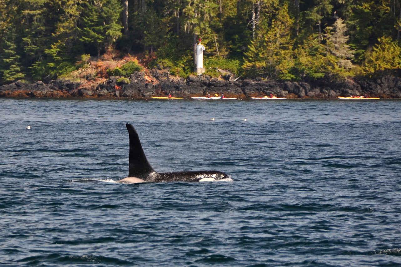 Kayaking Johnstone Strait orca