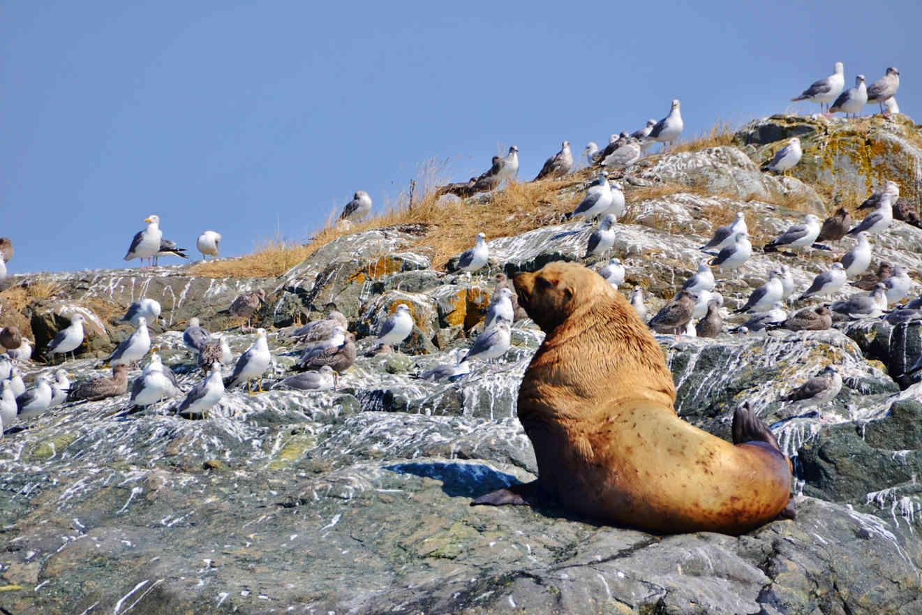 Kayaking Johnstone Strait Steller sea lion