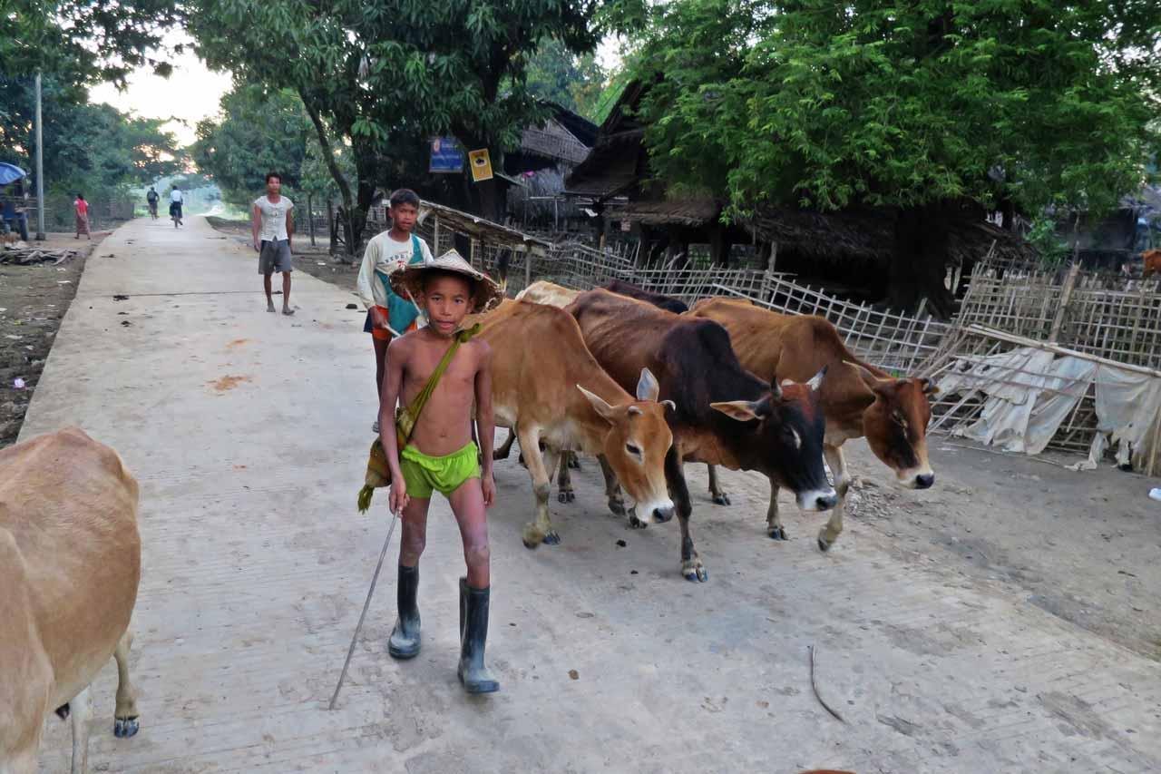 kid herding cows near Mrauk U, Myanmar