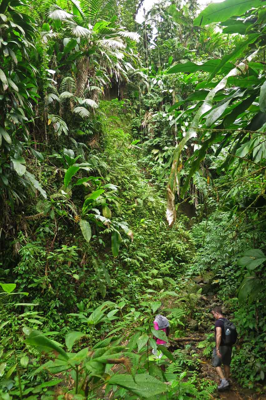 Lush green rainforest on the hike up to La Soufrière
