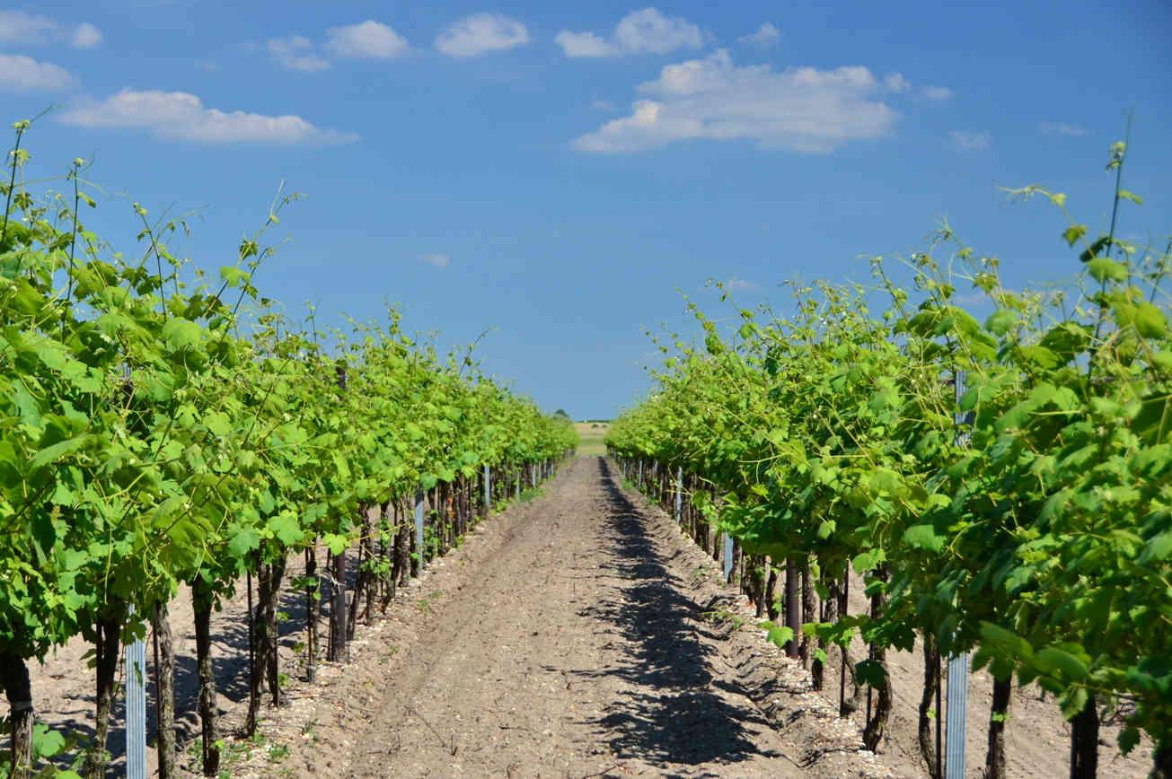 Lake Neusiedl vineyard