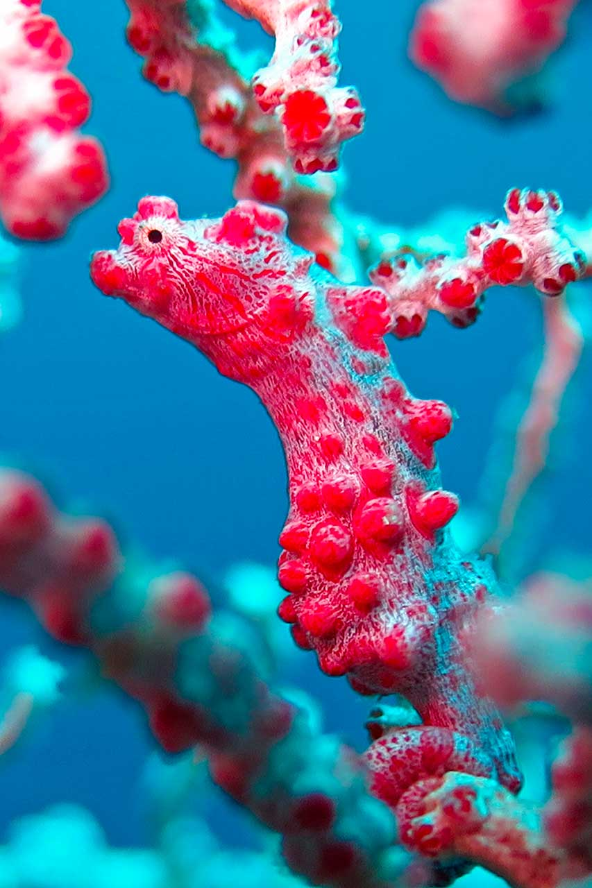 The Bargibant pygmy seahorse is a signature animal at Wakatobi Marine Park