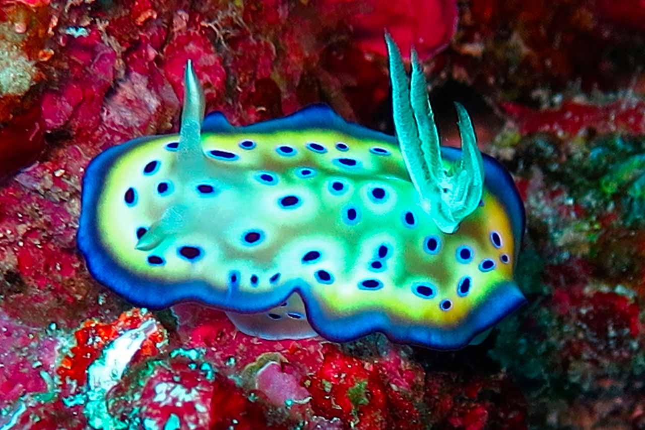 macro diving paradise wakatobi chromodoris kuniei