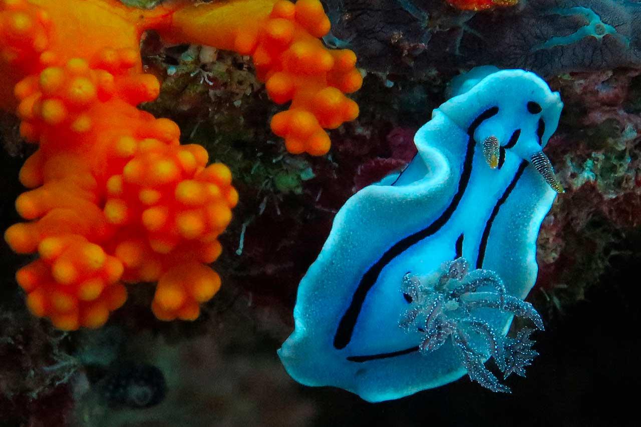 macro diving paradise wakatobi chromodoris willani