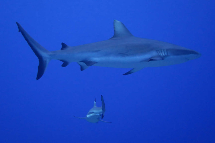 diving French Polynesia: gray reef shark in Moorea