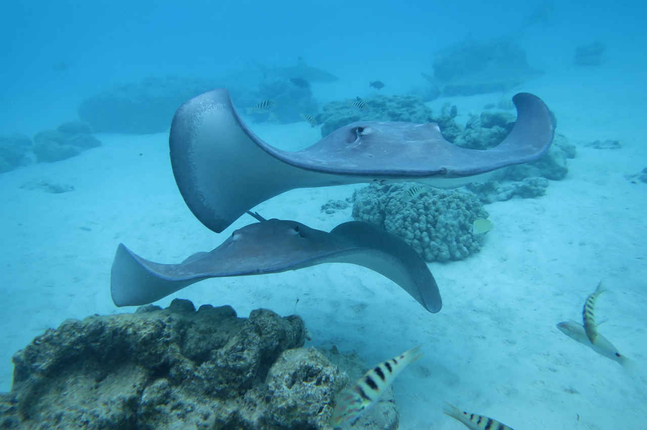 The warm and crystal clean lagoon of Moorea invites snorkelers to get up close with curious stingrays as well as small and harmless black-tip reef sharks