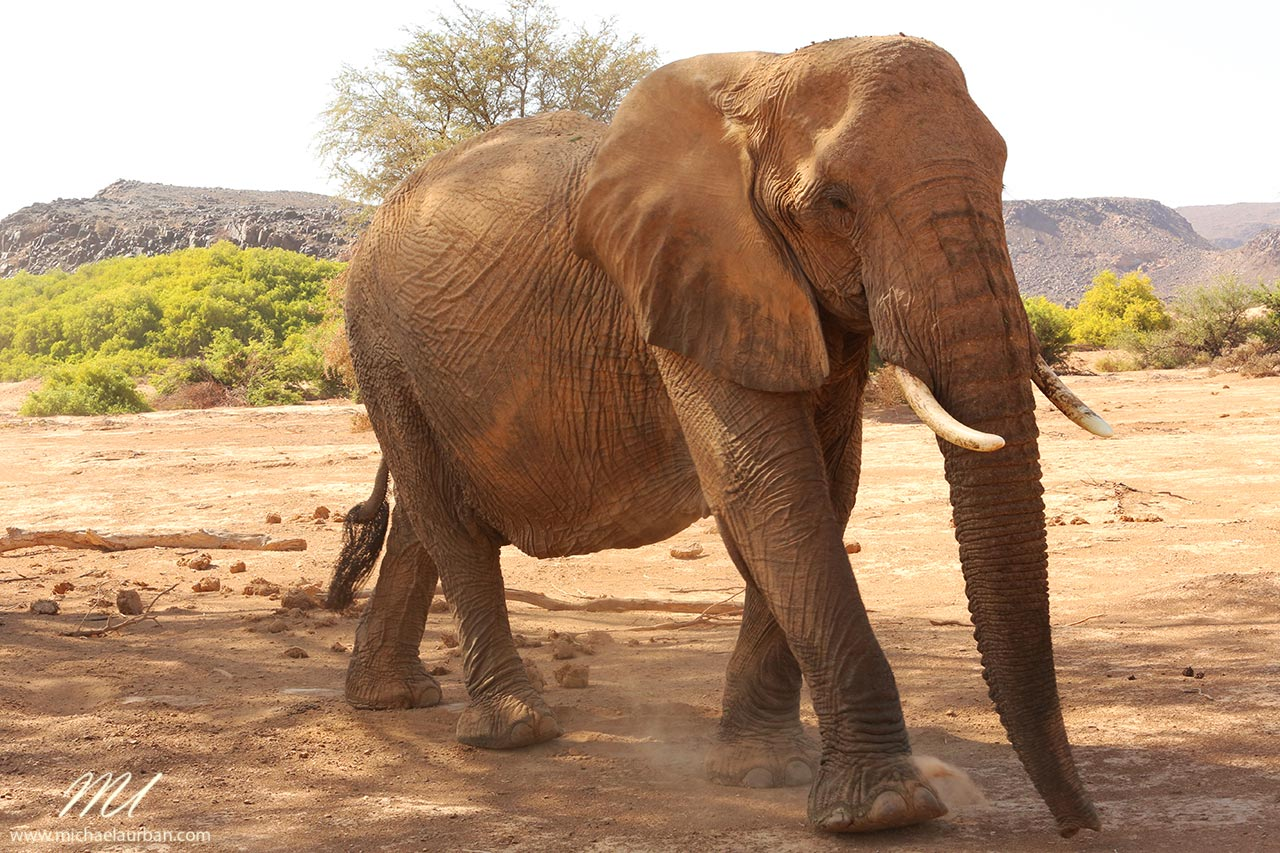 things you didn't know about Namibia desert elephant