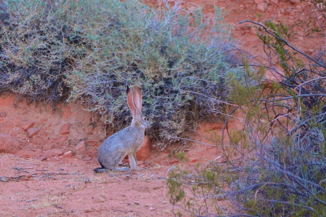 A jackrabbit came out in the cooler hours of the evening in the Valley of Fire