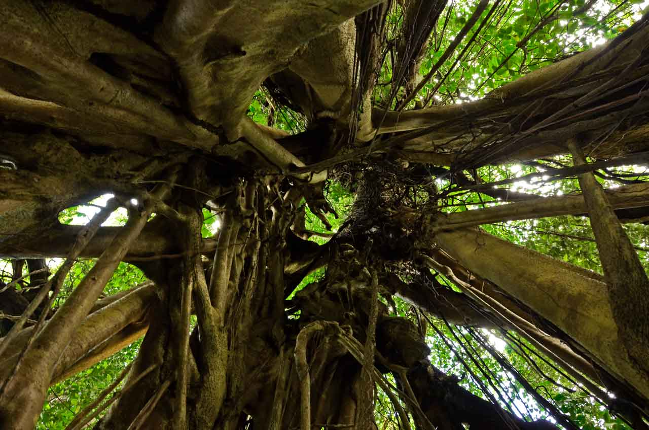 Inside a strangler fig on the Vermont Nature Trail, looking up