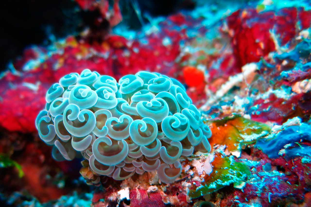 Wakatobi Dive Resort: anchor coral