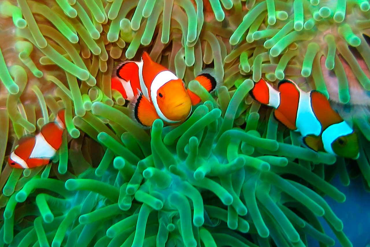 Wakatobi Dive Resort: anemone fish